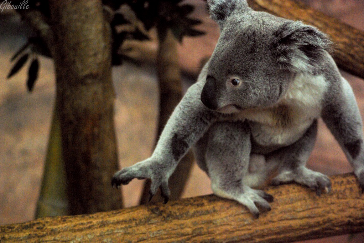 http://loudianou.free.fr/10/animal/koalas%20(2).JPG