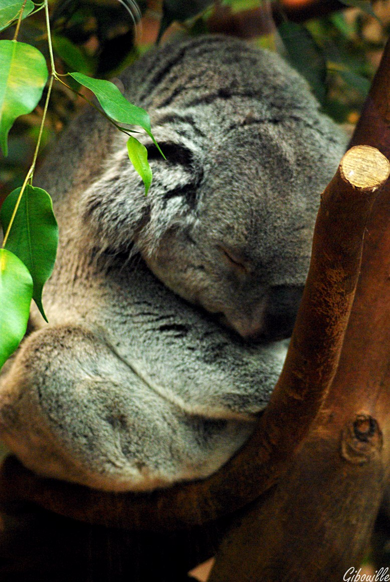 http://loudianou.free.fr/10/animal/koalas%20(3).JPG