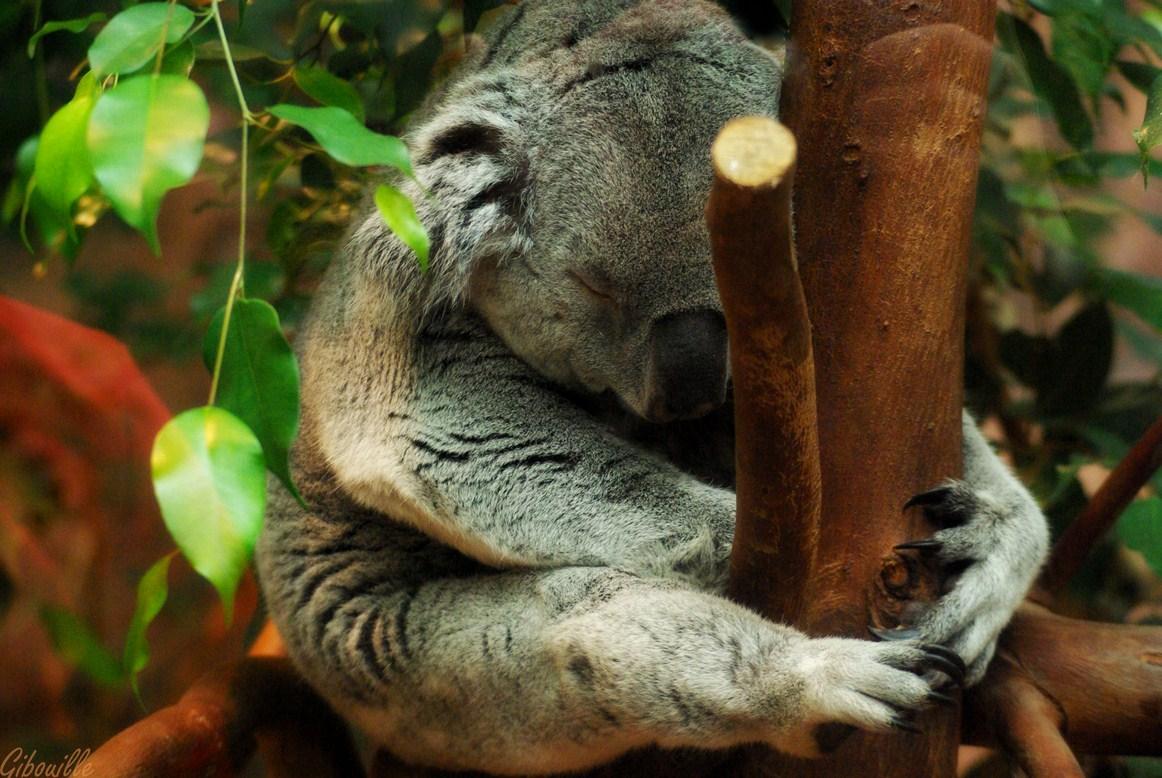 http://loudianou.free.fr/10/animal/koalas%20(4).JPG