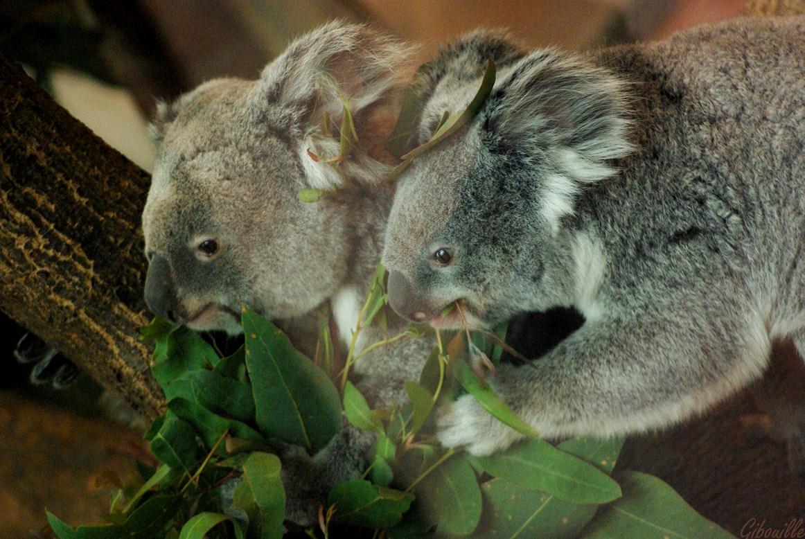 http://loudianou.free.fr/10/animal/koalas%20(5).JPG